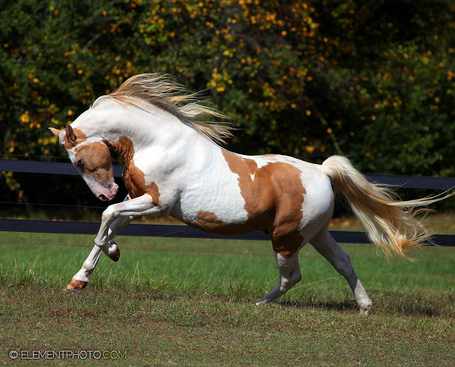 Champagne_paint_stallion_by_venomxbaby-d4dgwch_medium