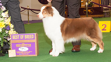 Ryan Hanigan's dog takes best in breed at Westminster