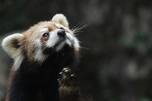 Firefox Red Panda (Flickr)
