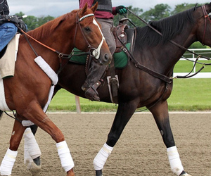 June 4, 2012; Elmont, NY, USA;  I'll Have Have Another ridden by exercise rider Jonny Garcia (left) with stable mate Lava Man walk the track in preparation for a morning workout prior to the 144th running of Belmont Stakes at Belmont Park. Mandatory Credit: Anthony Gruppuso-US PRESSWIRE