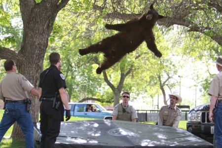 Falling bear
