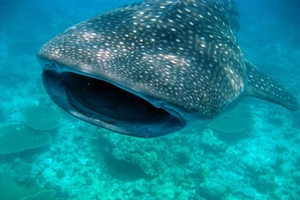 Whale shark Wired UK