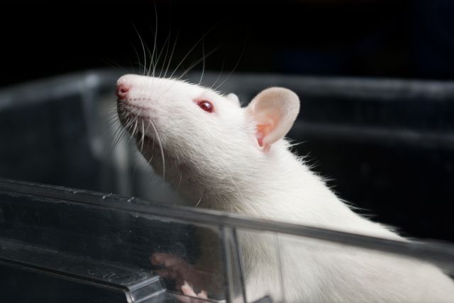 Lab rat (shutterstock)