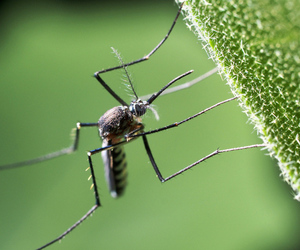 mosquito (amir ridhwan - shutterstock)