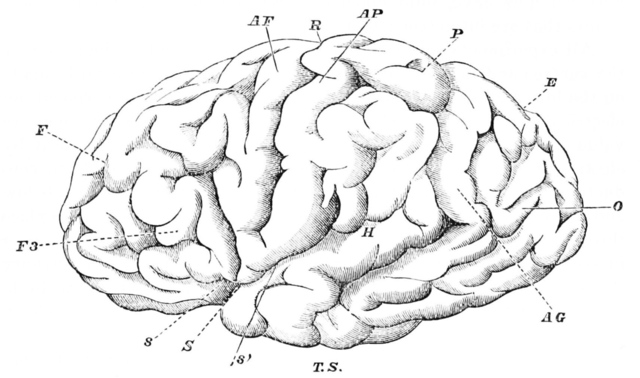 Brain drawing (Wikimedia)