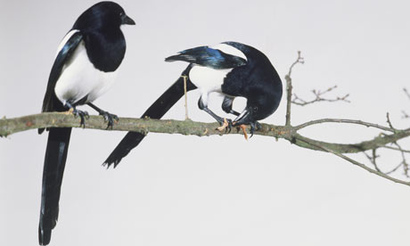 Magpies-notes-and-queries-001