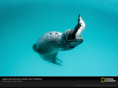 Leopard-seal-with-penguin-1045588-sw