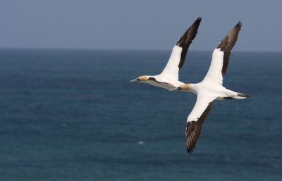 Autralasian_gannets_2flying_mvl_medium