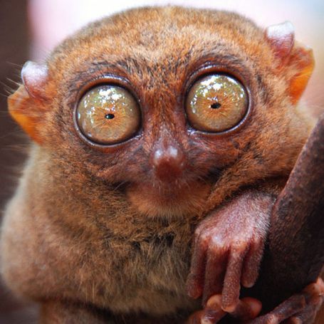 Tarsier_nocturnal_animals_medium
