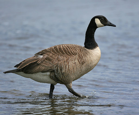 Canada_20goose1_medium