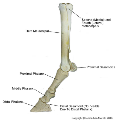 Equine-dist-forelimb-bones_medium