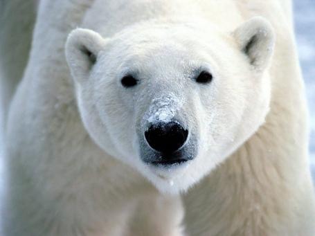 Polar_20bear_medium
