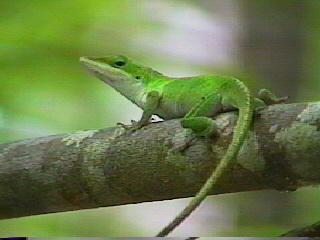 Lizard_jpg_medium