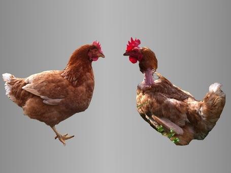 Home-hen-comparison_medium