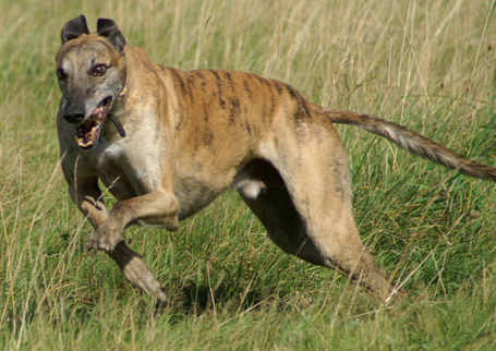 Greyhound_running_brindle_medium