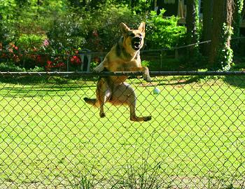 Stop-fence-jumping-dog_medium