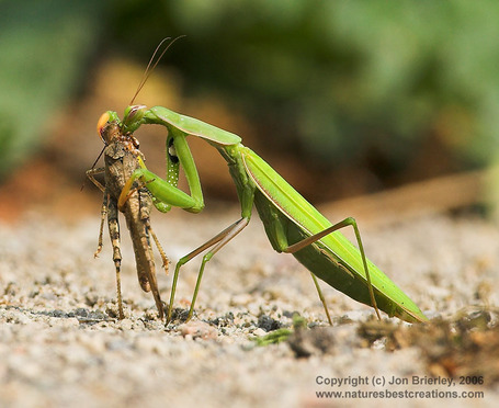 Prayingmantis06_medium