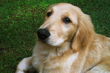 Golden_retriever_puppy_medium