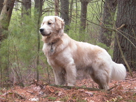 Golden_retriever_standing_tucker_medium