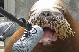 Walrus-speak-in_medium