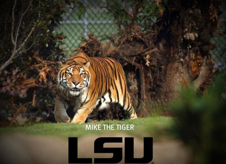 Lsu-mike-the-tiger-31000_medium