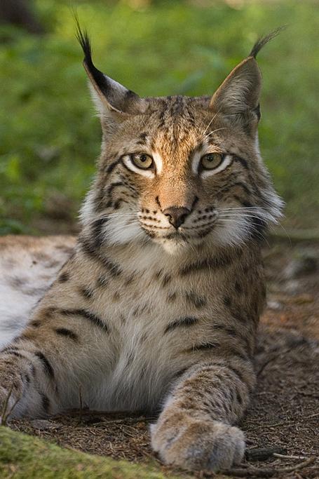 Lynx_lynx_poing_medium