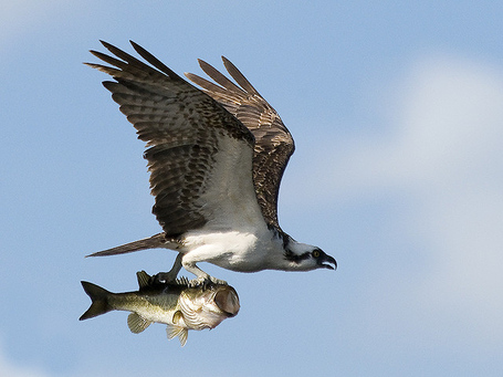 Osprey-with-bass_medium
