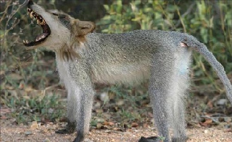 Wolf-monkey_medium