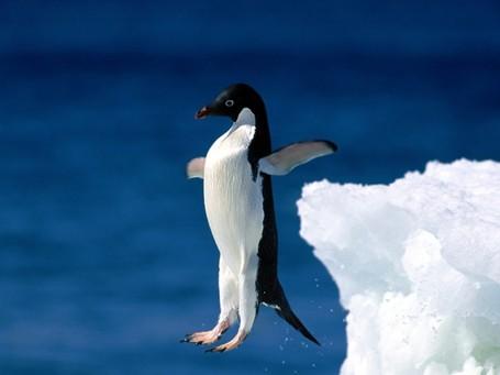 Leap_of_faith_2c_adelie_penguin_medium