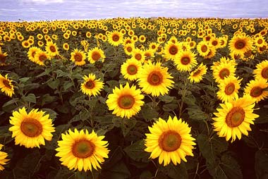 Sunflowers_usda-380_medium