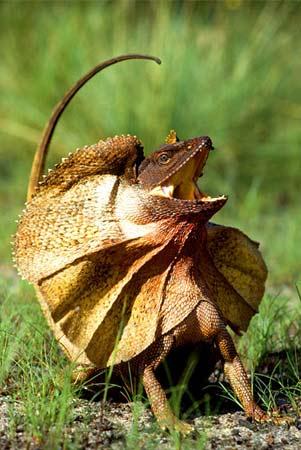 Frilled-lizard_medium