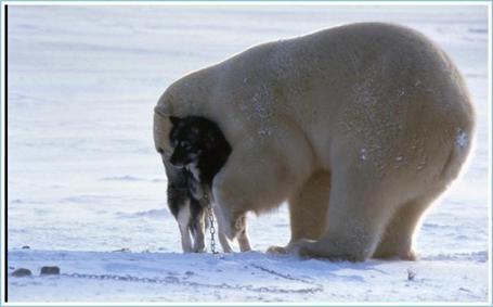Husky-playing-with-a-polar-bear1_medium