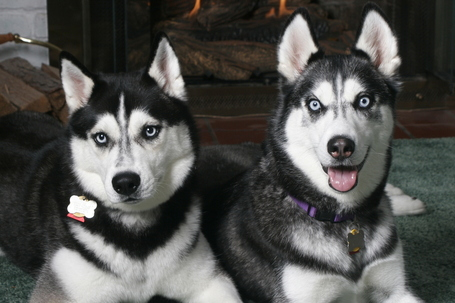 Huskies_medium