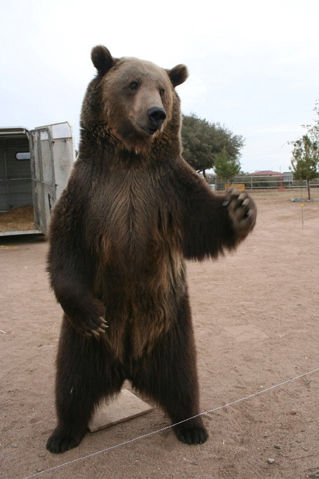 Grizzly_attack_ny109_medium