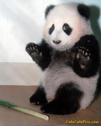 Cute-panda_medium