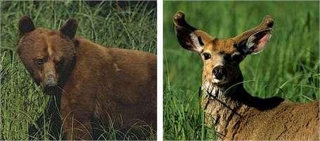 Bear-deer_medium