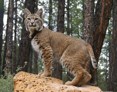 Adult_bobcat_medium