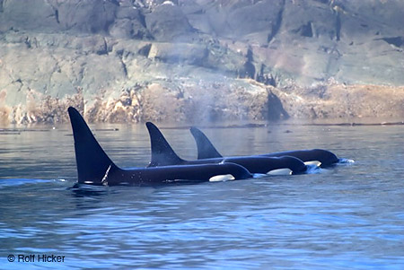 Orcas_2_medium