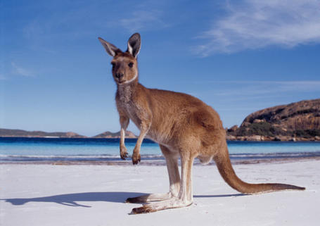 Western-australia-kangaroo-beach_medium