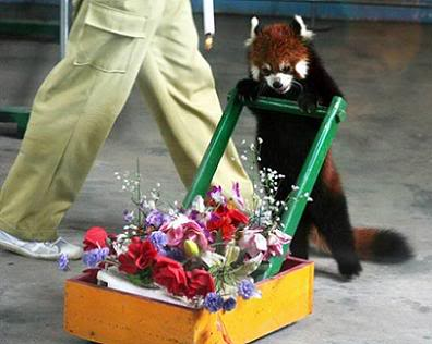 Redpandaflowerdeliveries_medium