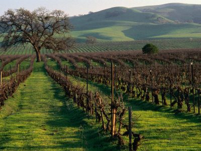 9560-6_late-winter-vineyard-livermore-valley-posters_medium