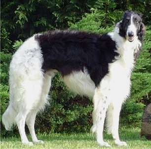 Borzoi_adams_medium