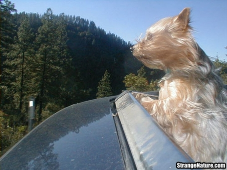 Dog_with_head_out_of_car_window_sunroof_medium