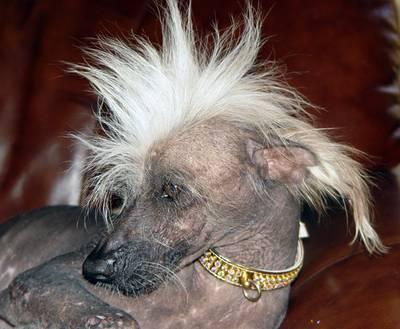 Chinese_crested_2_medium