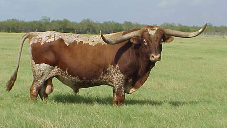 Texas_longhorn2_medium
