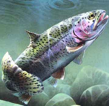 Rainbow-trout_medium