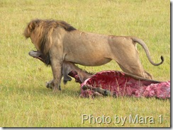 Lion_20eating_20prey_20mara_201_thumb_5b5_5d_medium