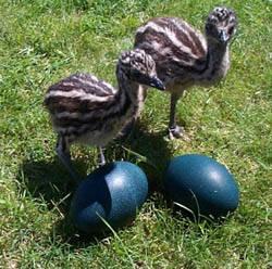 Emu20chicks20w20eggs201_medium