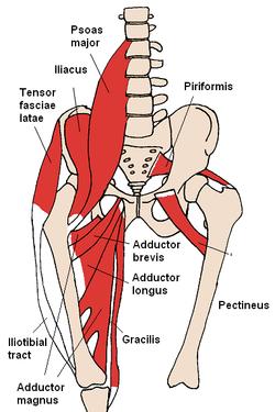 250px-anterior_hip_muscles_2_medium