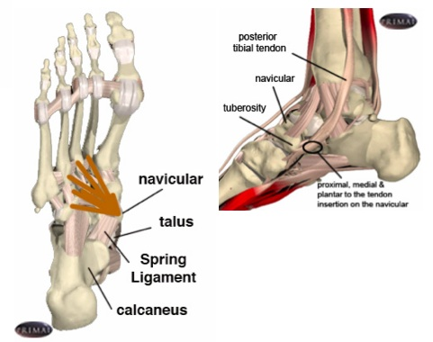Tibialis Posterior Podiatry Orthopedics Physical Therapy